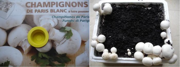 Champignons de Paris à faire pousser